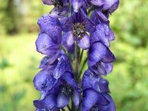 Aconitum callibotryon Lizenzfreie Stockfotografie