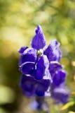Aconitum compactum Lizenzfreie Stockfotos