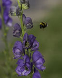 Aconitum Flowers and Bumblebee Royalty Free Stock Photos