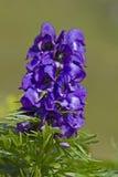 Aconitum napellus Lizenzfreies Stockbild