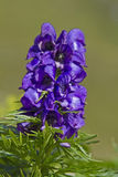 Aconitum napellus Royalty Free Stock Image