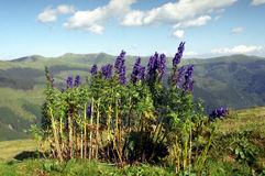 Aconitum napellus. Wolfs bane bouquet from Romanian Carpathians Stock Photography