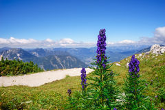 Aconitum napellus flowers against mountains Royalty Free Stock Image