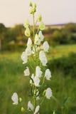 Aconitum napellus - sort Album on a blur background Stock Photos