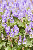 Aconitum napiforme Blumen Lizenzfreie Stockfotos