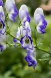Aconitum paniculigerum, Aconitum cammarum, Akonit, Sturmhut, schlingt Fluch, Leopardfluch, mousebane, der Fluch der Frauen, Teufe Stockfotografie