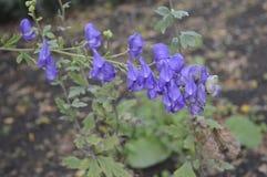 Aconitumcarmichaelii met mooie blauwe bloemen stock afbeeldingen