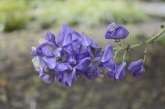 Aconitumcarmichaelii met mooie blauwe bloemen royalty-vrije stock afbeeldingen