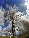 Acopio de la savia del abedul en los tarros de cristal en la primavera temprana, Rusia Fotos de archivo