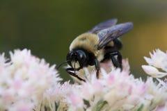 Acopio del néctar Fotos de archivo