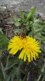Acopio del polen para hacer esa miel pascua domingo de la diversión Imágenes de archivo libres de regalías