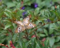 Acoplamento branco de duas borboletas de pavão Fotos de Stock Royalty Free