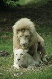 Acoplamento branco do leão e da leoa Imagem de Stock