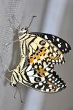 Acoplamento da borboleta do cal foto de stock