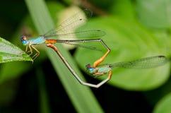 Acoplamento da libélula Fotos de Stock Royalty Free