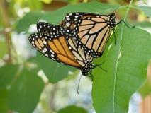 Acoplamento das borboletas de monarca Fotos de Stock Royalty Free