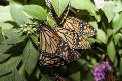 Acoplamento das borboletas de monarca Imagem de Stock Royalty Free