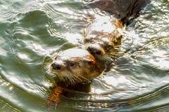 Acoplamento das lontras de mar Imagem de Stock