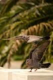 Acoplamento das pombas de lamentação Foto de Stock