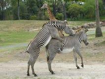 Acoplamento das zebras Imagem de Stock