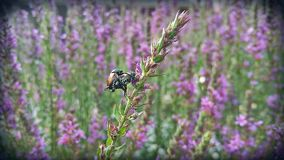 Acoplamento de dois besouros japoneses Fotos de Stock