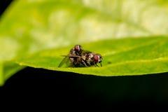 Acoplamento de dois fundos macro da natureza das moscas, e insetos Collec Fotos de Stock Royalty Free