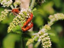 Acoplamento de dois insetos Foto de Stock