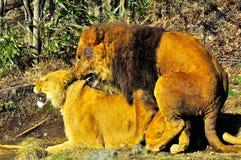 Acoplamento de dois leões. imagens de stock