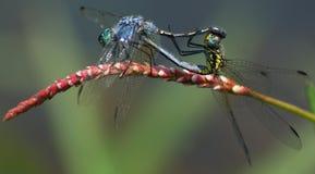 Acoplamento de 2 Dragonflys foto de stock