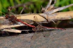 Acoplamento de libélulas vermelhas Imagens de Stock
