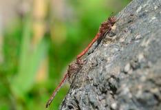 Acoplamento de libélulas vermelhas Fotos de Stock Royalty Free