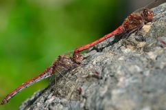 Acoplamento de libélulas vermelhas Imagem de Stock Royalty Free