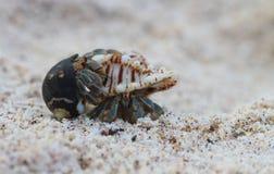 Acoplamento do caranguejo de eremita Imagem de Stock Royalty Free