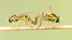 acoplamento dos insetos Fotografia de Stock