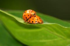 Acoplamento dos Ladybugs Imagem de Stock
