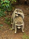 Acoplamento dos Raccoons Fotografia de Stock