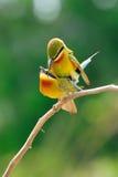 Acoplamiento Azul-Atado del comedor de abeja Foto de archivo