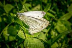 Acoplamiento blanco de dos mariposas fotografía de archivo libre de regalías