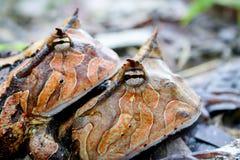 Acoplamiento de cuernos de las ranas de Suriname Imágenes de archivo libres de regalías