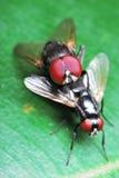 Acoplamiento de dos moscas Fotos de archivo libres de regalías