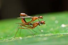 Acoplamiento de dos moscas Fotografía de archivo libre de regalías