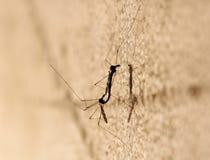 Acoplamiento de dos mosquitos imagen de archivo libre de regalías