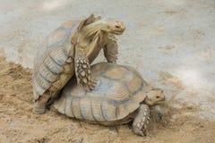 Acoplamiento de dos tortugas de Sulcata Imágenes de archivo libres de regalías