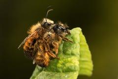 Acoplamiento de la abeja solitaria Imagen de archivo libre de regalías