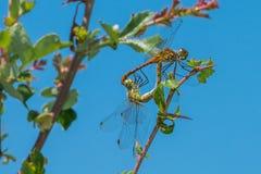 Acoplamiento de la libélula Imagen de archivo libre de regalías
