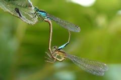Acoplamiento de la libélula Fotografía de archivo libre de regalías