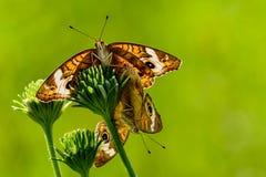 Acoplamiento de la mariposa del castaño de Indias (coenia de Junonia) Fotos de archivo libres de regalías