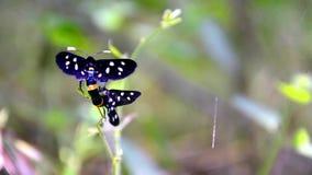 Acoplamiento de la mariposa del perforador de la hierba del tigre almacen de video