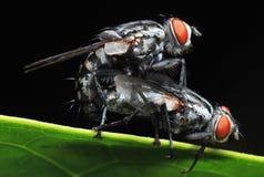 Acoplamiento de la mosca doméstica Imagen de archivo libre de regalías
