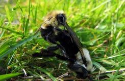 Acoplamiento de las abejas Foto de archivo libre de regalías